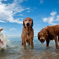Three dogs put their personalities on display at Huntington Dog Beach in Huntington Beach, CA.