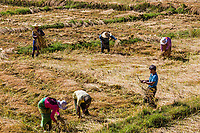 KALAW, MYANMAR - DECEMBER 06, 2016 : farmers harvesting cultivated land fields landscaped near Kalaw Shan state in Myanmar (Burma)