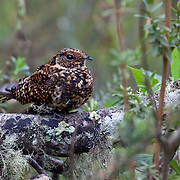 Swallow-tailed nightjar (Uropsalis segmentata). Wayqecha Biological Reserve on the Eastern slopes of the Peruvian Andes. Cloud forest at 2950 meters elevation. The reserve is managed by the Amazon Conservation Association and the Asociación para la Conservación de la Cuenca Amazónica.