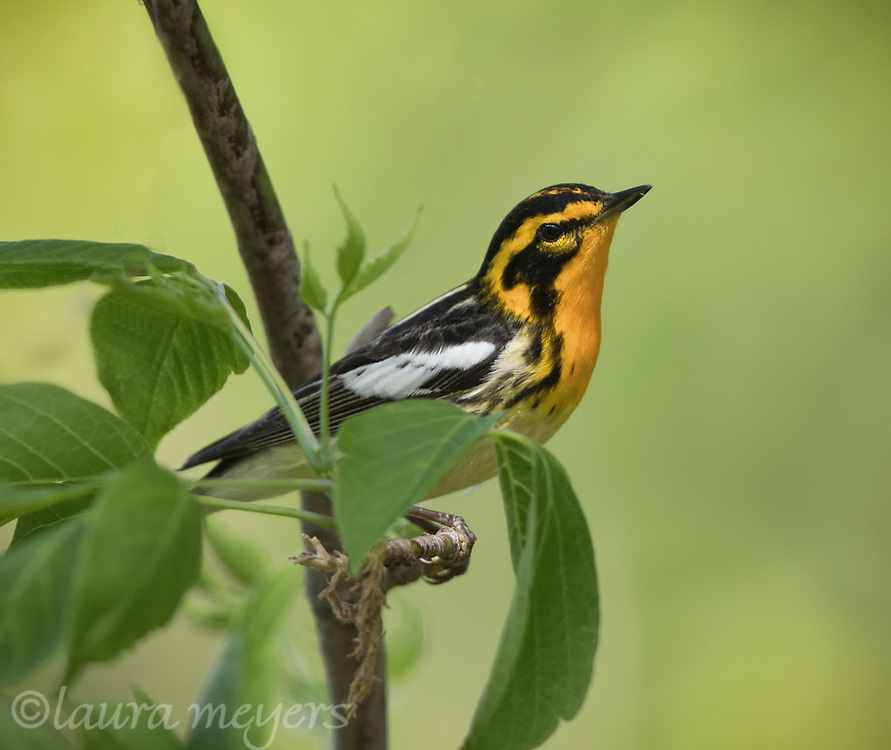 Blackburnian Warbler on tree with leaves and green background at Magee Marsh in Ohio.