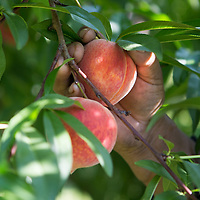 A worker picks a peach from a tree early Wednesday morning at Cherry Creek Orchard in Pontotoc. There are more than 70 acres of peaches at the orchard.