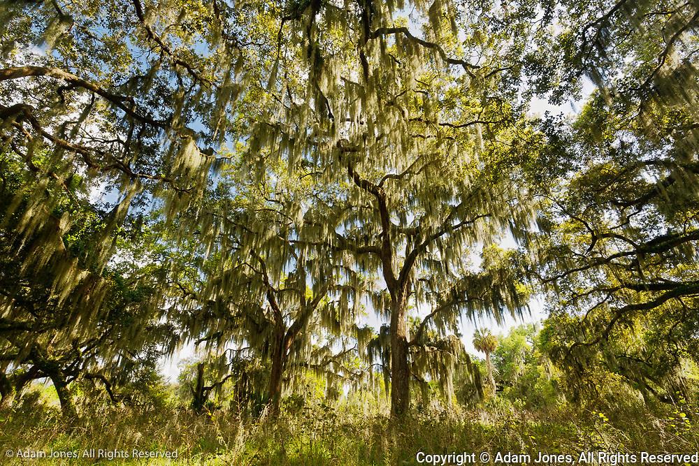 Live oaks draped in Spanish moss at sunrise, Circle B Bar Reserve, Polk County, near Lakeland, Florida