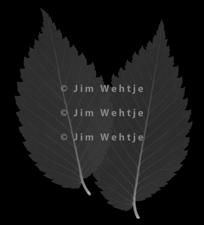 X-ray image of American elm leaves (Ulmus americana, white on black) by Jim Wehtje, specialist in x-ray art and design images.
