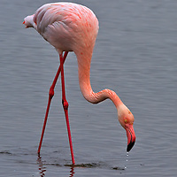 Flamingo at Walvis Bay.