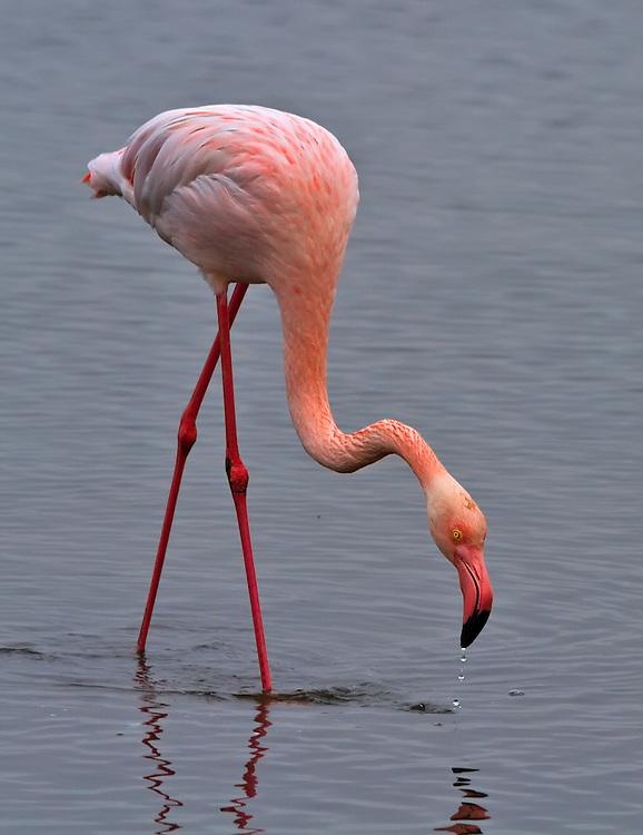 Flamingo at Walvis Bay.