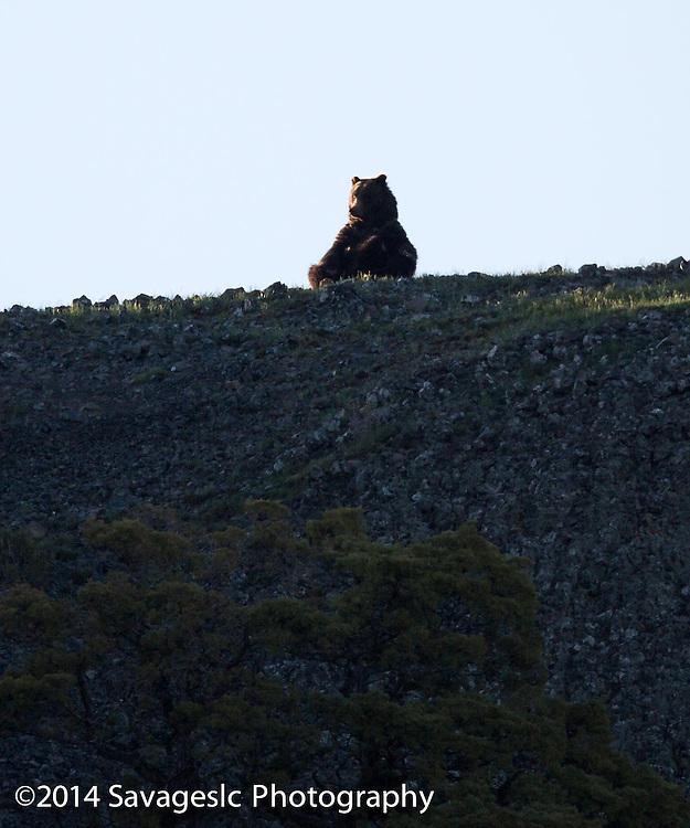 Yoga Bear.
