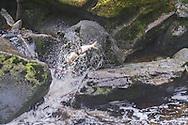 lack bear with salmon catch, Anand Creek, Alaska, USA / Oso negro con salmón recién pescado, Anand Creek, Alaska, EEUU