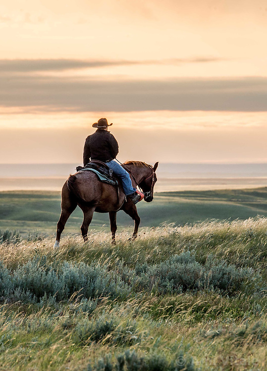The Nature Conservancy's Matador Ranch worker Jason Hanlon works with ranching families in Eastern Montana  at the Matador ranch &quot;grass bank&quot;. The &ldquo;grass bank&quot; is an innovative way to leverage conservation gains, in which ranchers can graze their cattle at discounted rates on Conservancy land in exchange for improving conservation practices on their own &ldquo;home&rdquo; ranches. In 2002, the <br /> Conservancy began leasing parts of the ranch to neighboring ranchers who were suffering from  severe drought, offering the Matador&rsquo;s grass to neighboring ranches in exchange for their  participation in conservation efforts. The grassbank has helped keep ranchers from plowing up native grassland to farm it; helped remove obstacles to pronghorn antelope migration; improved habitat for the Greater Sage-Grouse and reduced the risk of Sage-Grouse colliding with fences; preserved prairie dog towns and prevented the spread of noxious weeds. (Photo By Ami Vitale)