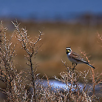 Horned Lark at Arapaho National Wildlife Refuge. Early Spring in Colorado. Image taken with a Nikon D300 and 80-400 mm VR lens (ISO 200, 400 mm, f/8, 1/250 sec).