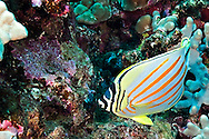 Ornate Butterflyfish, Chaetodon ornatissimus, Cuvier, 1831, First Cathedral, Lanai, Hawaii