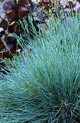 Festuca glauca 'Elijah Blue' - Blue fescue, Grey fescue