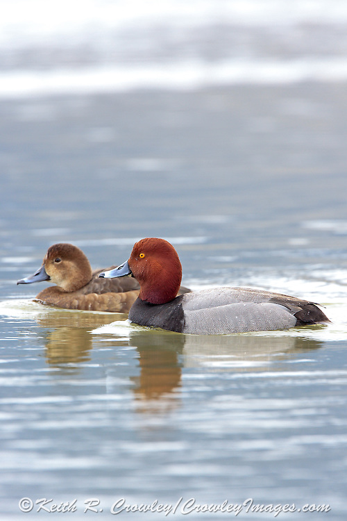 Drake Redhead in Breeding Plumage
