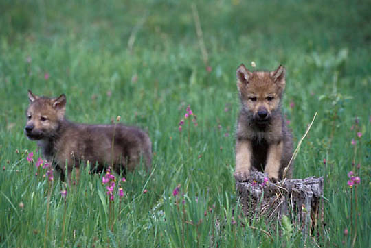 Gray Wolf, (Canis lupus) Young pups in field of shooting star flowers. Montana.   Captive Animal.
