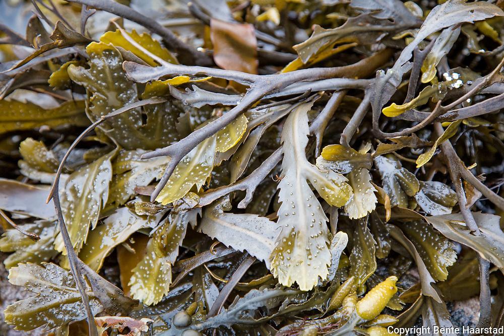 Sagtang (Fucus serratus, toothed wrack or serrated wrac) er en brunalge. Den gjenkjennes lett ved at den har en grovt sagtakket kant. Den er gaffelgreinet, med flate brede grener. <br /> Sagtangen har ikke luftbl&aelig;rer, men det at den er oppsvulmet p&aring; enden gj&oslash;r at det er lett &aring; tro det. Oppsvulmingen er egentlig bare en oppsamling av v&aelig;ske som skal hindre sagtangen fra utt&oslash;rking. <br /> Vokser nedenfor bl&aelig;retangbeltet, men sjelden lavere enn 6 meter. Den m&aring;ler 30-60 cm og er vanlig langs hele norskekysten. Det er blitt brukt til tangmel. Fucus serratus is used in Ireland and France for the production of cosmetics and for thalassotherapy. In the Western Isles of Scotland, it is harvested for use as a liquid fertiliser.