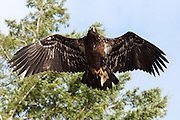 Juvenile bald eagle with fish tail flying near the Fraser River in British Columbia, Canada