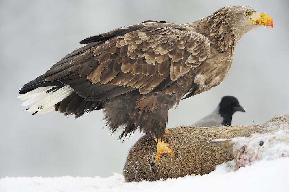 White-tailed sea eagle (Haliaeetus albicilla/ossifraga) and Crow (Corvus corone cornix), Flatanger, Norway..