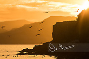 Brown pelicans fly around the cliffs at sunset on Isla San Francisco in Baja California, Mexico.