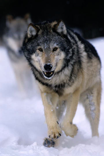 Gray Wolf, (Canis lupus) Running in winter snow. Montana. Captive Animal.