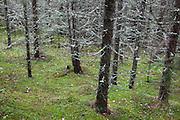 European spruce (Picea abies). Granskog i Selbu, Sør-Trøndelag