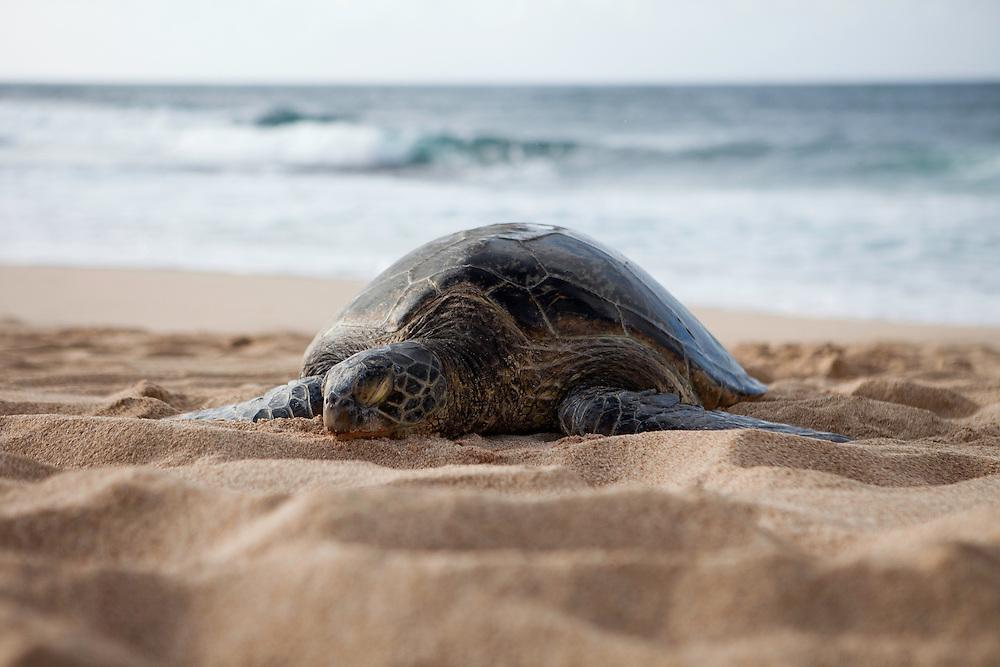 Honu, Hawaiian Green Sea Turtle beached, sleeping, basking in the sun, Kawailoa, Oahu, Hawaii