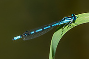 Common Blue Damselfly (Enallagma cyathigerum). Skunk Cabbage Trail, Revelstoke National Park, British Columbia, Canada.