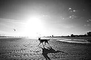 Dog on the Beach at Sunset in Black and White