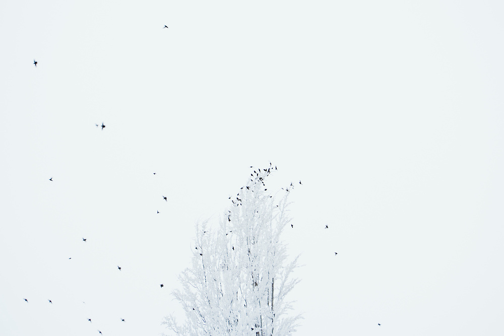 Flock of birds and icy tree in frozen fog near Ellensburg Thorp Eastern Washington USA.