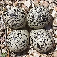 Killdeer eggs on gravel. Camouflage.