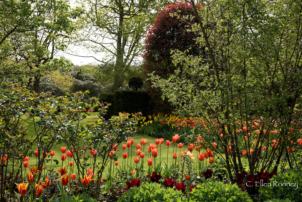 Tulipa 'Stunning Apricot', orange tulips in a bed at Pashley Manor Gardens, Ticehurst, East Sussex, UK