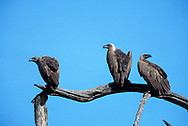 African white-backed vulture group perched on dead tree branch. White back is concealed in ordinary posture, Serengeti National Park. © 1999 David A. Ponton