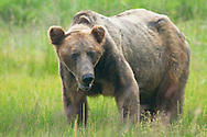 Adult Male Grizzly Bear Feeding on Grass, Lake Clark National Park, Alaska