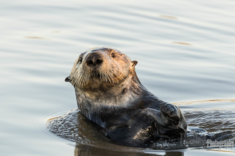 California's sea otters are the descendants of a single colony of about 50 southern sea otters discovered near Bixby Bridge in Big Sur in 1938.