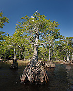 Pond cypress trees along the shore of Blue Cypress Lake, © 2007 David A. Ponton