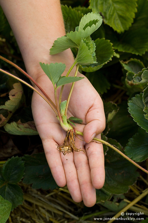 Propagating strawberries by layering runners - showing runner with roots already forming