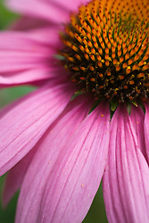 A close up shot of an Echinacea Purpurea, with its center and pink petals in focus.