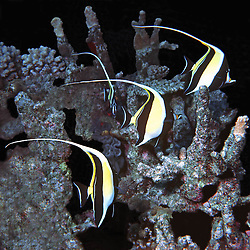 The're trainable, &amp; will line up, if you can talk through your<br /> regulator!   The one facing in the middle, shows a face like a <br /> moorish mask. Ocean Life is Al Harty's underwater photo series of sea life located mostly at Kwajalein Atoll, Marshall Islands.