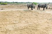 White Rhino bulls near their resting place, Mkhaya Game Reserve, Swaziland