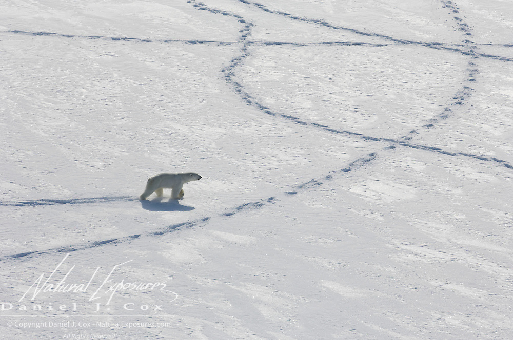 A polar bear (Ursus maritimus) makes tracks in the snow. These tracks are important for being able to find the bears on the ice for darting and capturing. Kaktovik, Alaska.