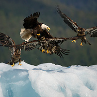 USA, Alaska, Tongass National Forest,  Bald Eagle (Haliaeetus leucocephalus) swarmed by Immature Eagles trying to steal its food on iceberg along Holkham Bay