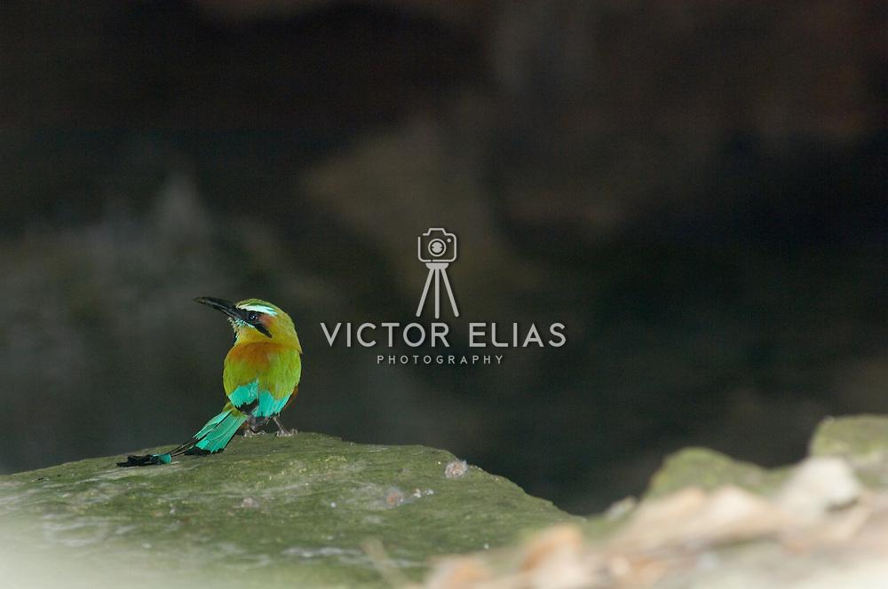 Blue crowned mot mot bird on surroundings of the Cenote Kantun chi. Riviera Maya. Quintana Roo. Mexico