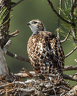 Nestling red-tailed hawk on nest in ponderosa pine tree watching everyting around. © 2011 David A. Ponton [Prints to 8x10, 16x20, 20x24 or 24x36 in. with no cropping]