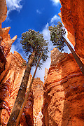 Ponderosa pines and fresh powder along Wall Street, Bryce Canyon National Park, Utah