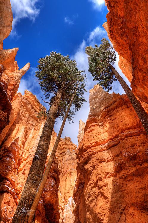 Ponderosa pines and fresh powder along Wall Street, Bryce Canyon National Park, Utah