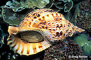 triton trumpet shell, Charonia tritonis, Susan's Reef, Kimbe Bay, New Britain, Papua New Guinea ( Bismarck Sea )