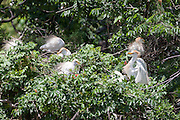 Cattle Egret at the rookery on Ochsner Island, Louisiana, North America