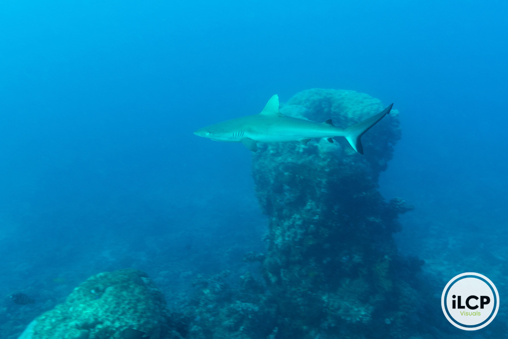 Juvenile grey reef shark patrolling it's territory in the Great Barrier Reef.