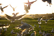 Seagulls in a frenzy whilst being throw food, by the sea at Batemans Bay, Australia.