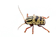 Case-bearing Leaf Beetle (Cryptocephalus leucomelas)<br /> United States: Alabama: Tuscaloosa Co.<br /> Tulip Tree Springs off Echola Rd.; Elrod<br /> 29-Jul-2017<br /> J.C. Abbott #2968