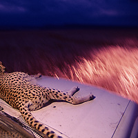 Kenya, Masai Mara Game Reserve, Adult female Cheetah (Acinonyx jubatas) resting on hood of safari truck in tall grass at dusk