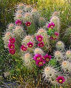 0146-1000F ~ Copyright:  George H. H. Huey ~ Robust Hedgehog cactus in bloom [Echinocereus fasciculatus var. boyce-thompsonii].  Superstition Mountains, Superstition Wilderness Area, Tonto National Forest, Arizona